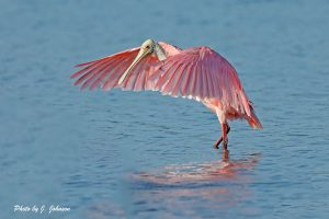 J.JohnsonSpoonbill Wings Caped Ding Darling 2018 161807